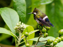Wire-crested Thorntail, Popelairia popelairii. A tiny hummingbird with wispy crest on head an sitting on leafy branch in subtropics of Ecuador Stock Images