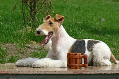 The Wire Fox Terrier Royalty Free Stock Photos