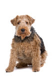 Wire Fox Terrier Stock Photos