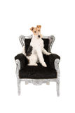 Wire fox terrier in black baroque chair Royalty Free Stock Photo