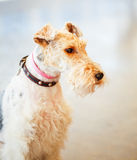 Wire Fox Terrier Royalty Free Stock Image