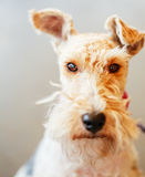 Wire Fox Terrier Stock Images