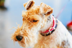Wire Fox Terrier Royalty Free Stock Photography