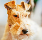 Wire Fox Terrier Royalty Free Stock Photos
