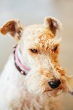 Wire Fox Terrier Stock Image