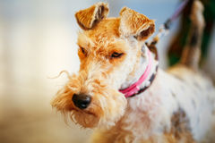 Wire Fox Terrier Royalty Free Stock Images