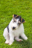 Wire Fox Terrier Puppy Royalty Free Stock Photography