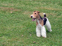 Wire hair fox terrier in park. Royalty Free Stock Photo