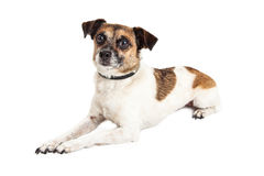 Wire-hair Jack Russel Terrier Crossbreed Dog Stock Photos