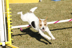 Wire Hair Terrier going over a jump Stock Photos
