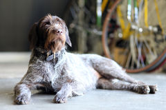 Wire hair terrier. Laying on floor Royalty Free Stock Photography