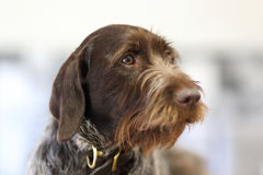 Wire hair terrier. Portrait of a wire hair terrier Stock Images