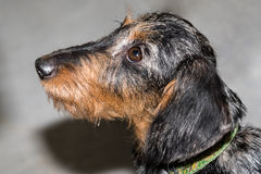 Wire-haired μικροσκοπικό dachshund που ανατρέχει στο αριστερό Στοκ εικόνες με δικαίωμα ελεύθερης χρήσης