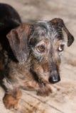 Wire-haired μικροσκοπικό dachshund που εξετάζει επάνω bashfully τη κάμερα στοκ φωτογραφία