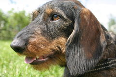 Wire-haired Dachshund Lizenzfreie Stockbilder