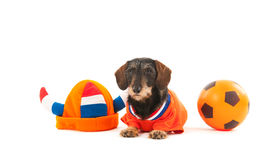 Wire haired dachshund as sports fan Royalty Free Stock Images