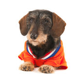Wire haired dachshund as sports fan Stock Image