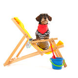 Wire haired dachshund at the beach Stock Image