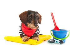 Wire haired dachshund at the beach Royalty Free Stock Photo