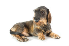 A wire-haired dachshund Stock Photography