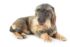 A wire-haired dachshund Stock Photos