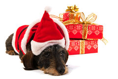 Wire haired dachshund with Christmas hat Stock Images