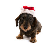 Wire haired dachshund with Christmas hat Royalty Free Stock Image