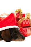 Wire haired dachshund with Christmas hat Royalty Free Stock Photos