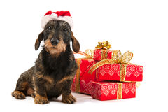Wire haired dachshund with Christmas hat Stock Photography