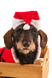 Wire haired dachshund with Christmas suit in wooden crate stock photo