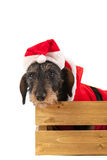 Wire haired dachshund with Christmas suit in wooden crate Royalty Free Stock Photo