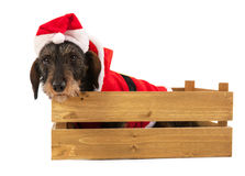 Wire haired dachshund with Christmas suit in wooden crate Royalty Free Stock Photography