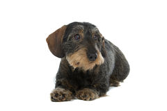 Wire haired Dachshund dog Royalty Free Stock Photos