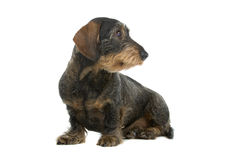 Wire haired Dachshund dog Stock Images