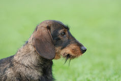 Wire-haired dachshund dog Stock Image