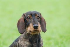 Wire-haired dachshund dog. Portrait in garden Royalty Free Stock Photos