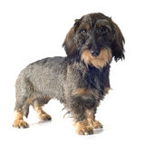 Wire-haired dachshund Stock Photography