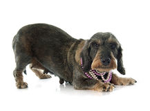 Wire-haired dachshund Royalty Free Stock Photography