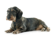 Wire-haired dachshund Royalty Free Stock Image