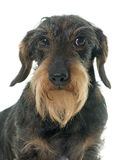 Wire haired dachshund Royalty Free Stock Images