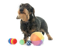 Wire haired dachshund Stock Image