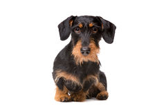 Wire haired dachshund Stock Photography