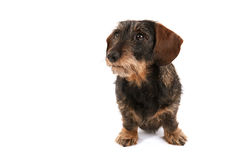 Wire haired dachshund Royalty Free Stock Photo