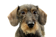 Wire haired Dachshund looking into the camera. White background Stock Photos