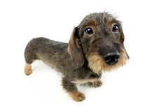 Wire haired Dachshund looking up in the camera white studio. Wire haired Dachshund looking up in the camera Royalty Free Stock Photos