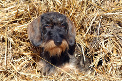 Wire-haired dachshund Stock Images