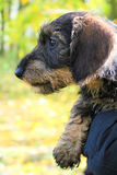 A wire-haired dachshund puppy Royalty Free Stock Photography