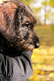 A wire-haired dachshund puppy Royalty Free Stock Images