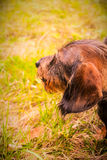A wire-haired dachshund puppy Royalty Free Stock Photos