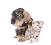 Wire-haired dachshund puppy hugging tiny kitten. isolated on whiite Stock Photography